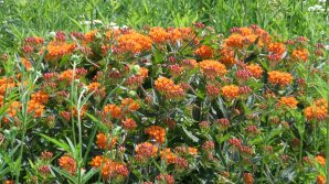 orange flowers, possibly sedum