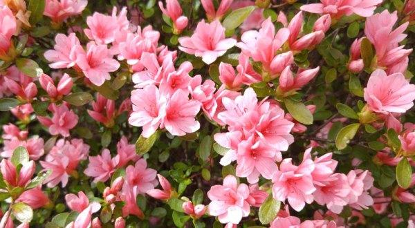 Azaleas. Not my favorite flower.