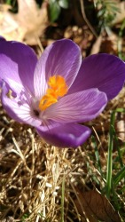 Dark purple crocus in the front yard