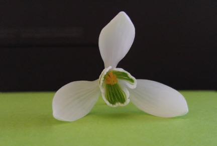 A snowdrop blossom