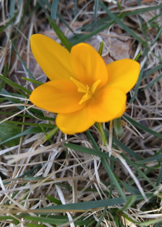 Yellow crocus in the front yard